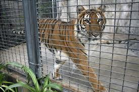 El tigre y el Cerrajero de Palma